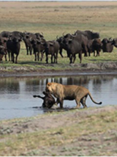 野生动物 危险之旅 水牛大战狮子