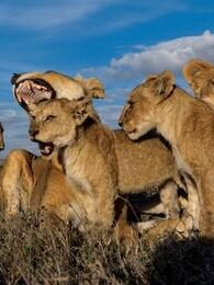 动物群追逐者